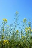 kwiatu śródpolny rapeseed Obrazy Royalty Free