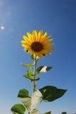 kwiatu śródpolny słońce Obraz Royalty Free