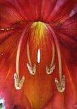 kwiatu afrykański tulipan Obraz Royalty Free