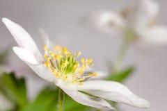 Kwiatu anemon. obraz royalty free