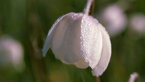 Kwiatu anemon Sylvestris E zdjęcie wideo