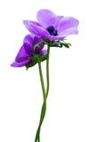 kwiatu anemonowy fiołek Obraz Royalty Free