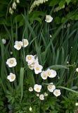 Kwiatu anemonu LAT Anemonowy biel Zdjęcie Royalty Free