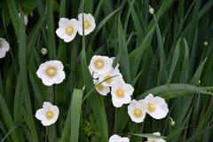 Kwiatu anemonu LAT Anemonowy biel Obrazy Stock