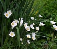 Kwiatu anemonu LAT Anemonowy biel Obrazy Royalty Free