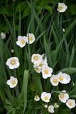 Kwiatu anemonu LAT Anemonowy biel Zdjęcia Royalty Free