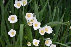 Kwiatu anemonu LAT Anemonowy biel Fotografia Stock