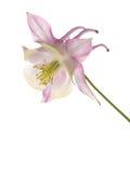 Kwiatu aquilegia Fotografia Stock