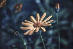 Kwiatu Argyranthemum frutescens Obrazy Stock