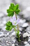 kwiatu asfaltowy krekingowy dorośnięcie obrazy royalty free
