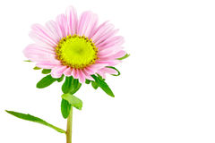 Kwiatu Aster Zdjęcia Royalty Free