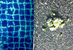 Kwiatu asteru Biali kwiaty z pączkowym stawiającym dalej kamiennym podłogowym pobliskim basenem obrazy stock