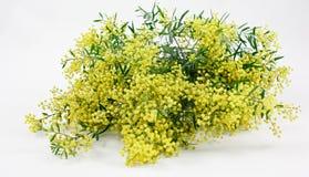 kwiatu australijski wattle Zdjęcia Stock
