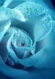 Kwiatu błękita ładna róża z ranek rosą zdjęcie stock