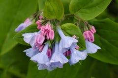 kwiatu błękitny bluebell kwiatu menchii wiosna Virginia Obrazy Stock