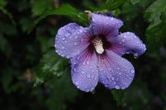 kwiatu błękitny hawajczyk Obrazy Royalty Free