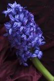kwiatu błękitny hiacynt Obrazy Royalty Free