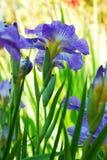 kwiatu błękitny irys Fotografia Royalty Free
