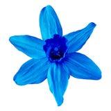 Kwiatu błękitny narcyz odizolowywający na białym tle zamknięty pączkowy zamknięty kwiat bell świątecznej element projektu Obrazy Stock