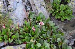 Kwiatu Bergenia crassifolia Zdjęcia Stock