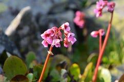 Kwiatu Bergenia crassifolia Zdjęcia Royalty Free