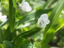 Kwiatu Bia?y fio?ek w ogr?dzie obraz royalty free