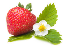 kwiatu biel świeży odosobniony truskawkowy Zdjęcie Royalty Free