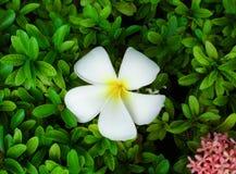 kwiatu biel obrazy royalty free