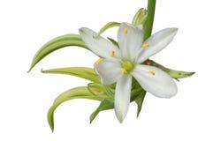 kwiatu biel Obraz Royalty Free