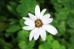 kwiatu biel Fotografia Royalty Free