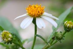 kwiatu biel kolor żółty Obraz Royalty Free