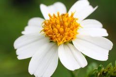 kwiatu biel kolor żółty Zdjęcie Royalty Free