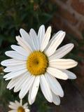 Kwiatu bielu i koloru żółtego urlop obrazy stock