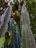 Kwiatu blackjack Pattana Zdjęcia Royalty Free