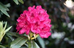 Kwiatu blask menchie w lecie Fotografia Royalty Free