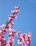 kwiatu brzoskwini persica prunus Obrazy Royalty Free