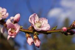 kwiatu brzoskwini persica prunus Obraz Stock