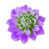Kwiatu bzu zieleni dalia odizolowywająca na białym tle Zakończenie Makro- bell świątecznej element projektu Fotografia Stock