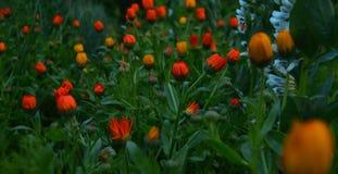 Kwiatu calendula Fotografia Stock