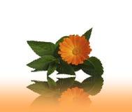 Kwiatu calendulas i mennica z odbiciem Obraz Royalty Free