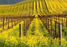 kwiatu California musztardy napa kolor żółty Zdjęcie Stock