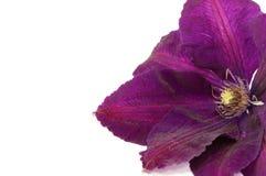 Kwiatu Clematis Zdjęcia Royalty Free