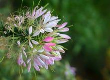 Kwiatu cleome spinosa - spiderflower Zdjęcie Royalty Free