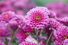 kwiatu cukierki Fotografia Royalty Free