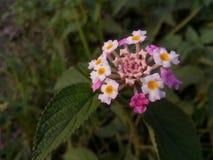 kwiatu cukierki Zdjęcie Royalty Free