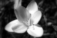 kwiatu czarny biel Obraz Royalty Free