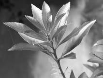 kwiatu czarny biel Zdjęcia Stock
