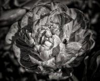 kwiatu czarny biel Fotografia Royalty Free