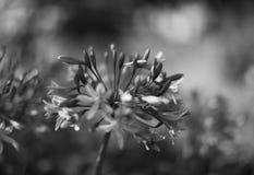 kwiatu czarny biel Obraz Stock
