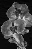 kwiatu czarny biel Zdjęcia Royalty Free